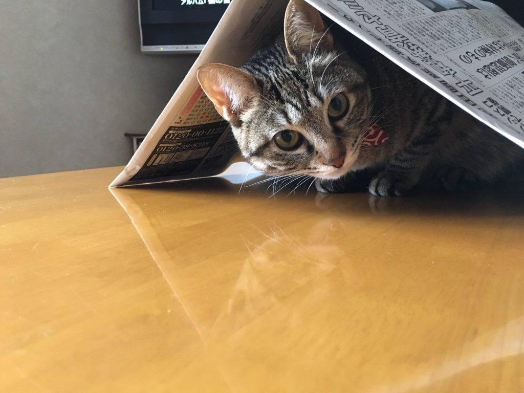 猫のHANA