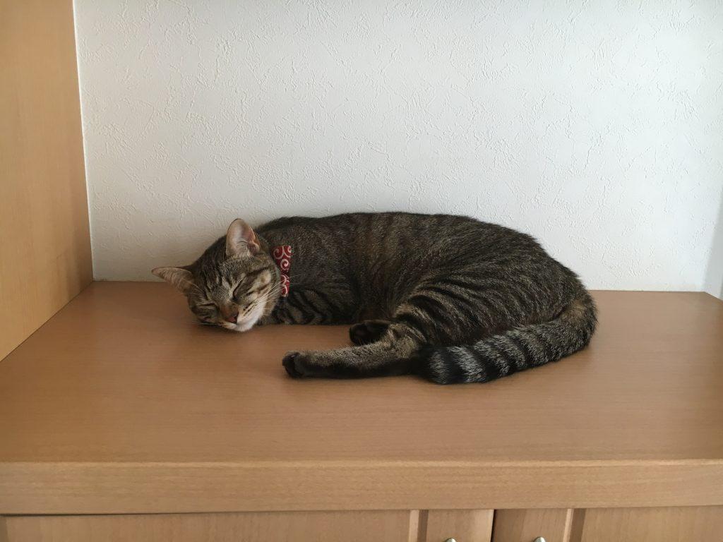 下駄箱の上で昼寝 猫