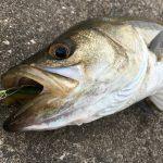 シーバス釣りの理想のキャッチ&リリース