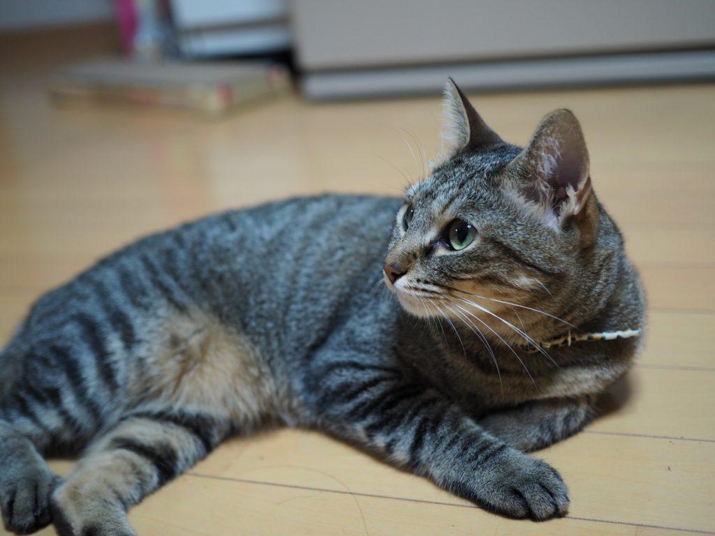 ミラーレスで愛猫HANAを撮る