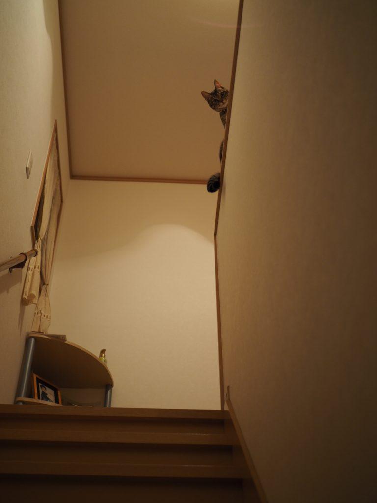 階段の上から覗く猫