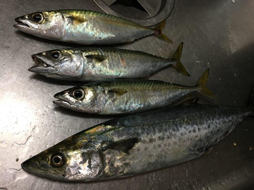 小サバとサゴシの釣果
