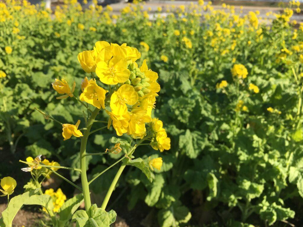 武庫川サイクリングロード 菜の花
